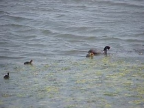 A coot and kids