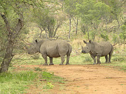 Rhinos in the bush