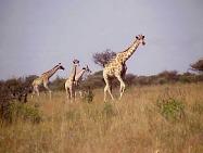 Giraffe in the Mafikeng Game Reserve