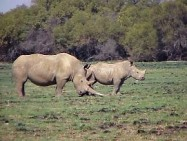 A Rhino and calf in Mafikeng Game Reserve