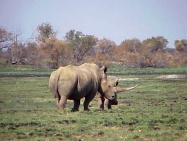 A Rhino in the veld at Mafikeng Game Reserve - Photo by Linx Africa