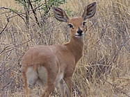 Steenbok in the Mafikeng Game Reserve
